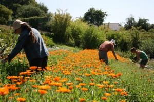 harvesting marigolds copy